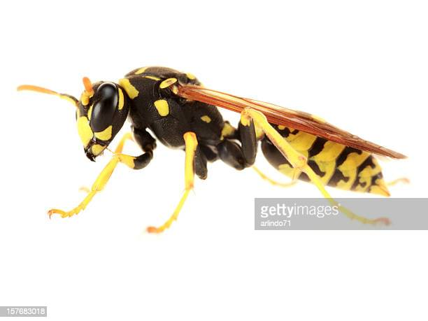 Isolated Paper Wasp  (XXL)