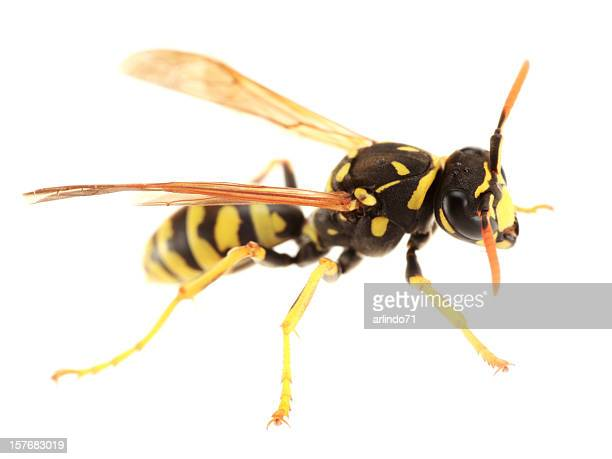 isolated paper wasp  (xxxl) - paper wasp stock pictures, royalty-free photos & images