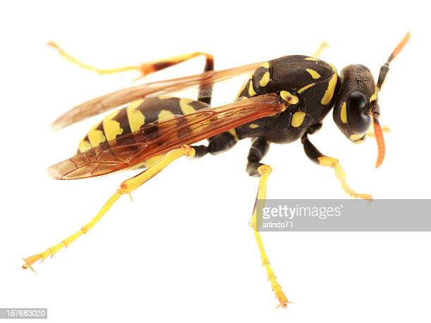 isolated paper wasp  (xxl) - paper wasp stock pictures, royalty-free photos & images