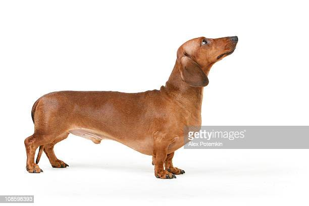 Isolated picture of a short haired Dachshund