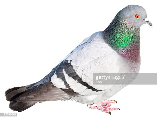 Isolated pigeon on white background