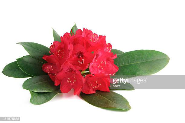 Isolierte Rosa Rhododendron