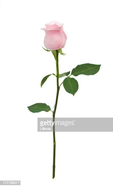 Isolated Pink Rose XL