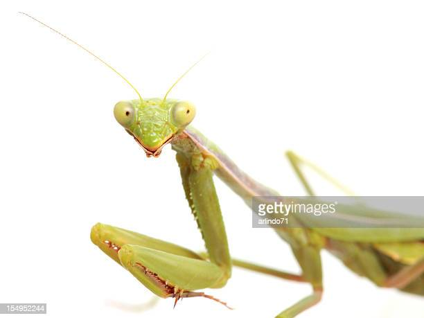 isolated praying mantis - praying mantis stock photos and pictures