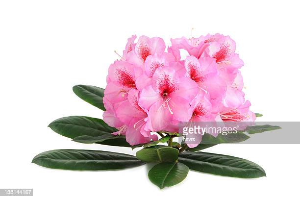 Isolierte Lila Rhododendron