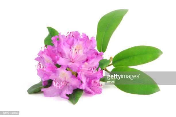 Púrpura rododendro aislado
