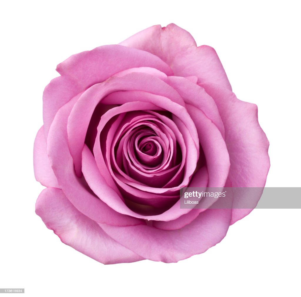 Isolierte Purple Rose : Stock-Foto