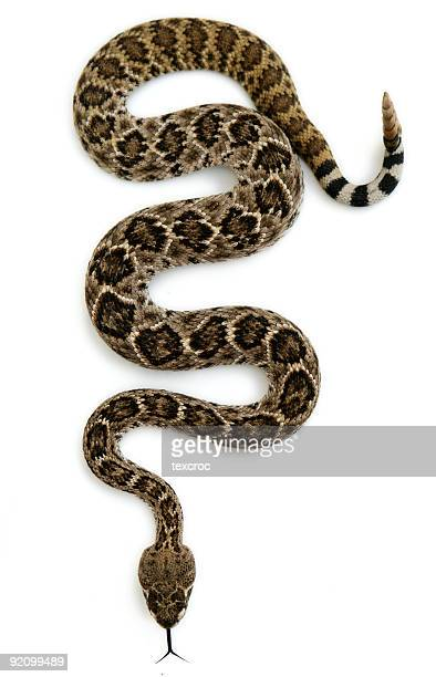 isolated rattlesnake - snake stock pictures, royalty-free photos & images