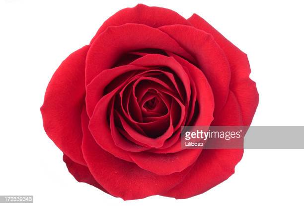 Isolated Red Rose (XL)