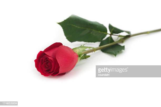 isolated red rose - single rose stock photos and pictures