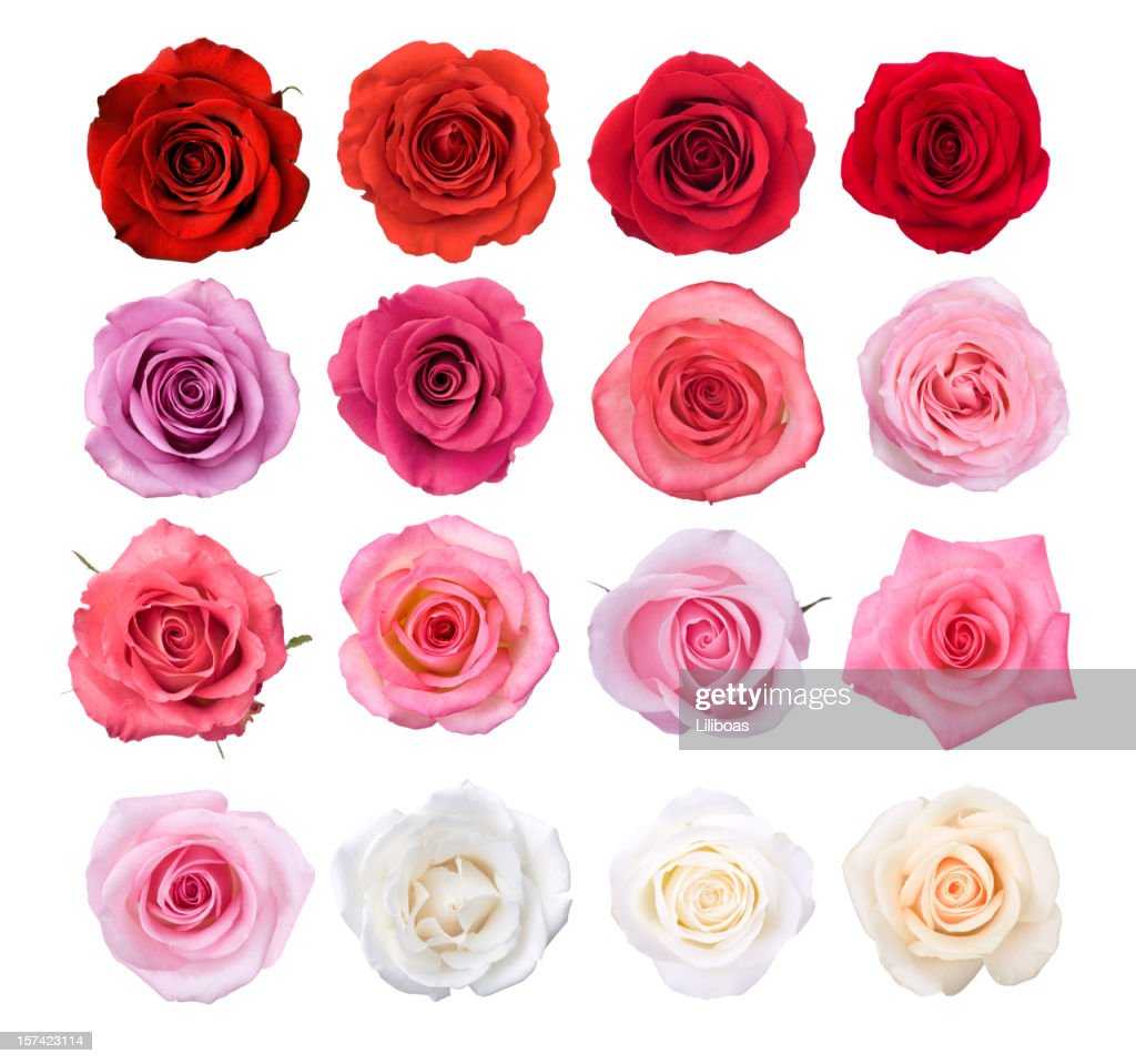 Isolated Rose Blossoms : Stock Photo