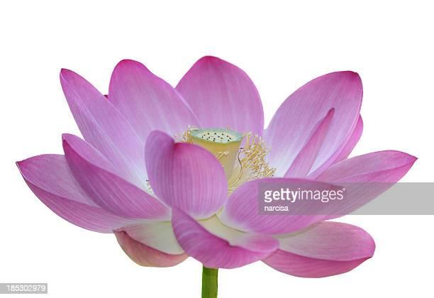 Isolé Fleur de lotus sacré