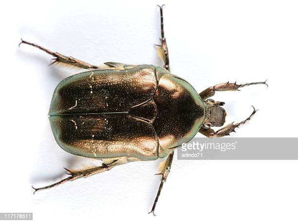 Isolated Scarab