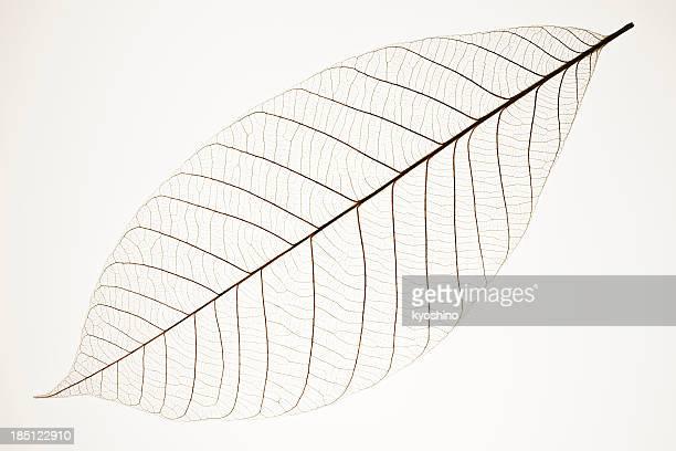 Isolé photo d'une feuille les veines sur fond blanc