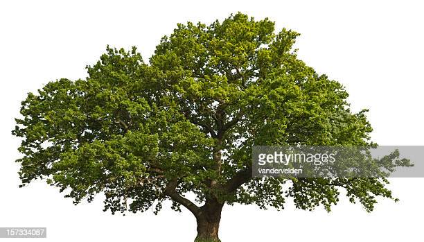 isolated summer oak - oak tree stock pictures, royalty-free photos & images