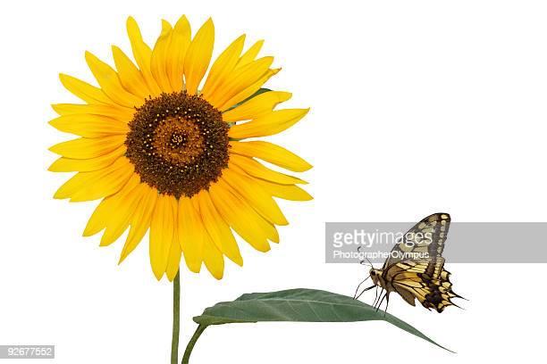 Tournesol avec papillon isolé