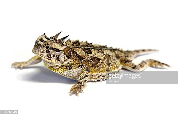 Isolated Texas Horned Lizard - Horny toad