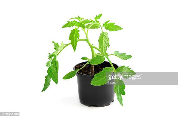 isolated tomato plant seedling in flower pot