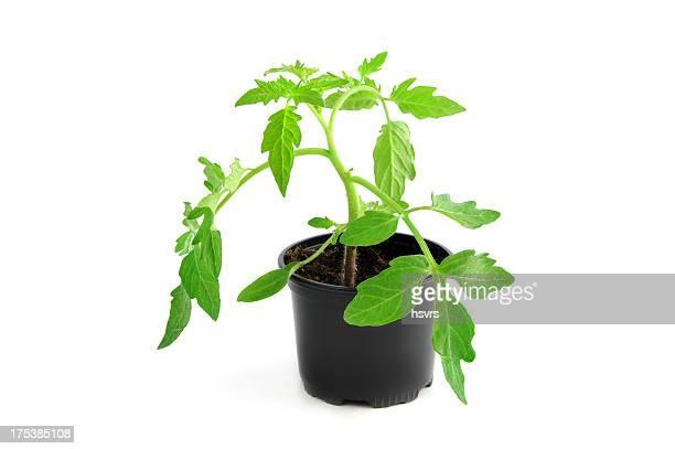 Isolé plant de tomate Jeune pousse à Cache-pot