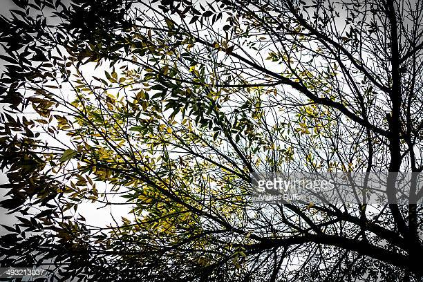 Isolated tree with yellow leaves