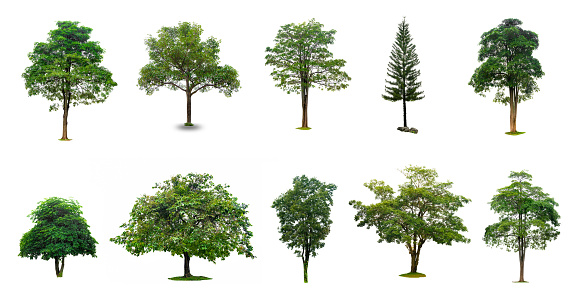 Isolated  trees on white background Collection of Isolated Trees on white background Suitable for use in architectural design , Decoration work 879557338