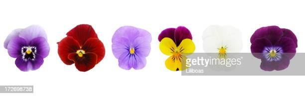 isolated viola/pansies (xl) - pansy stock pictures, royalty-free photos & images