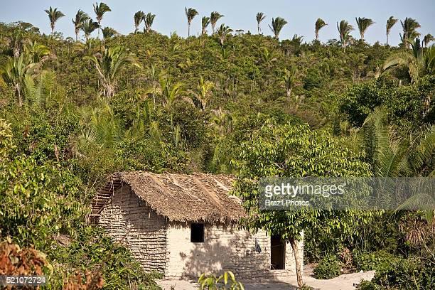 Isolated wattle and daub house inside dense vegetation with lots of babacu trees at Itamatatiua Quilombo Alcantara rural area Maranhao Brazil This...