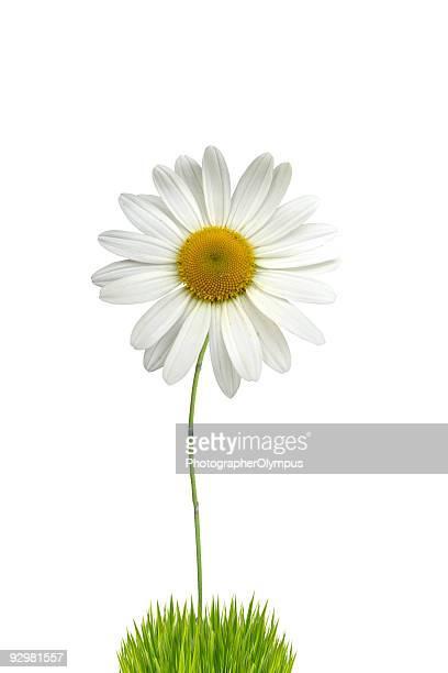 aisladas blanco daisy - tallo fotografías e imágenes de stock