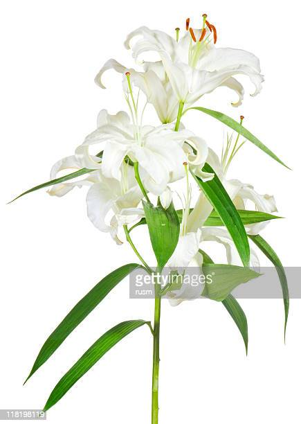 isolated white lily on white background - easter lily stock pictures, royalty-free photos & images