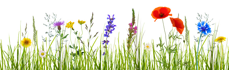 isolated wildflower meadow 997750962