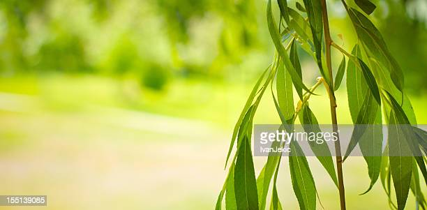Isolated willow branches on defocused background