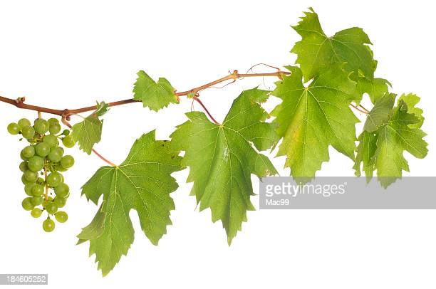 isolated wine - grape leaf stock pictures, royalty-free photos & images