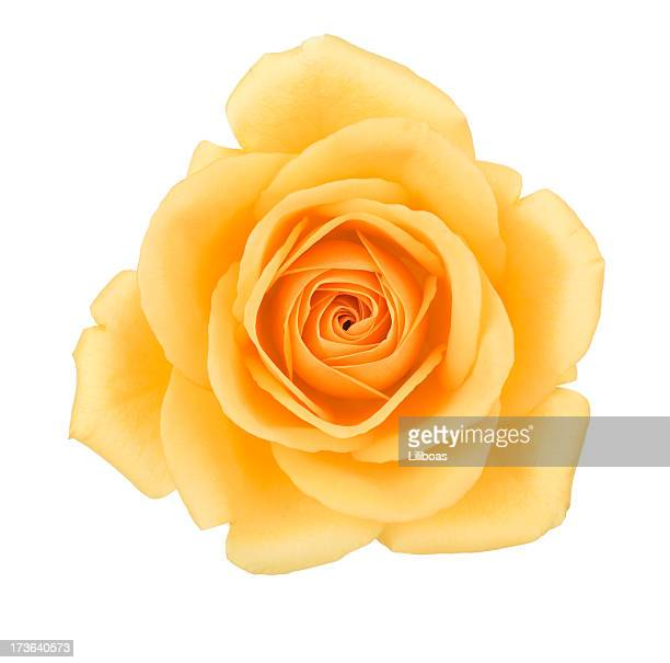 Isolated Yellow Rose