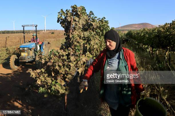 Israeli Arab workers harvest Cabernet Sauvignon grapes for Bazelet Hagolan winery on its last day of the 2020 harvest on October 5, 2020 at Tel Mahfi...