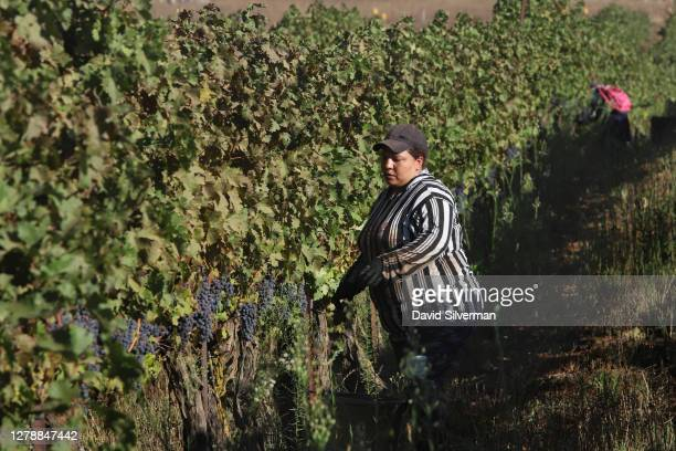 Israeli Arab workers pick Cabernet Sauvignon grapes for Bazelet Hagolan winery on its last day of the 2020 harvest on October 5, 2020 at Tel Mahfi in...