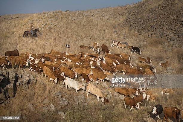 Israeli cowboy shay zerbib rides his horse as he herds his cattle back to the Merom Golan ranch on November 14 2013 in the Israeliannexed Golan...