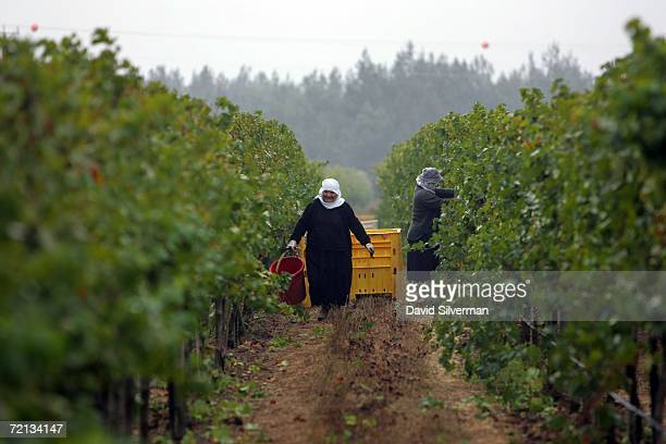 Israeli Druze women harvest Viognier grapes for the Golan Heights winery at dawn October 9 2006 in a vineyard in Moshav Odem on the Golan Heights...
