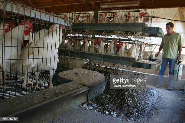 Israeli egg farmer Dan Aronheim sprays pesticide to kill the flies that breed in the mounds of feces under the cages of his 3500 Highline breed...