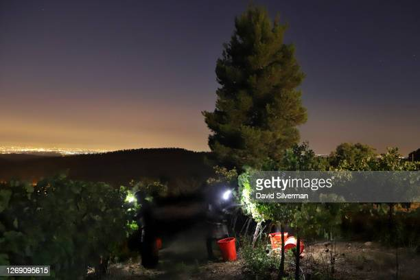 Israeli farm workers harvest Cabernet Sauvignon grape harvest for Tzora Winery's flagship Misty Hills red wine blend at night to avoid the summer...