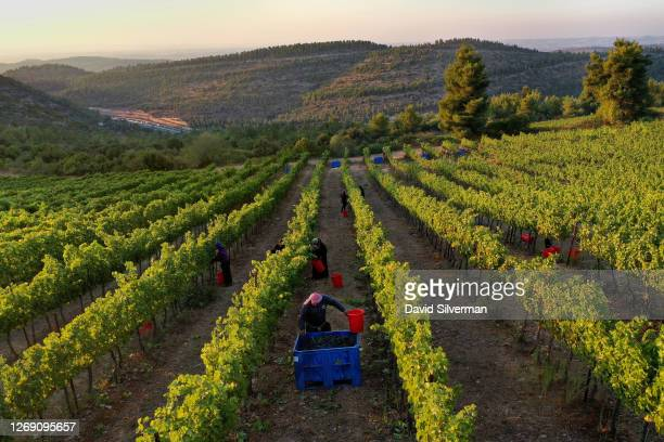 Israeli farm workers harvest Cabernet Sauvignon grape harvest for Tzora Winery's flagship Misty Hills red wine blend in the evening to avoid the...
