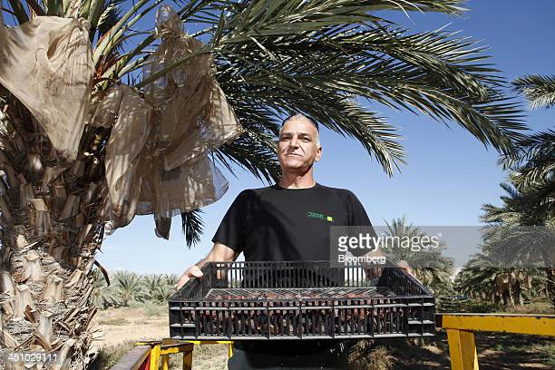 Israeli farmer and orchard manager Benjamin El Kaslassy poses for a photograph while holding a crate of medjool dates as the fruit is harvested at...