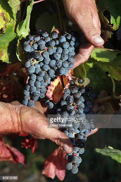Israeli farmer Avraham Friedman inspects the Merlot grapes he grew for the Dalton winery on October 7 2009 in Kerem Ben Zimra northern Galilee in...