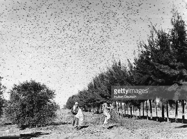 Israeli farmers try to ward off a swarm of locusts with a sheet and brushwood on an Israeli collective farm
