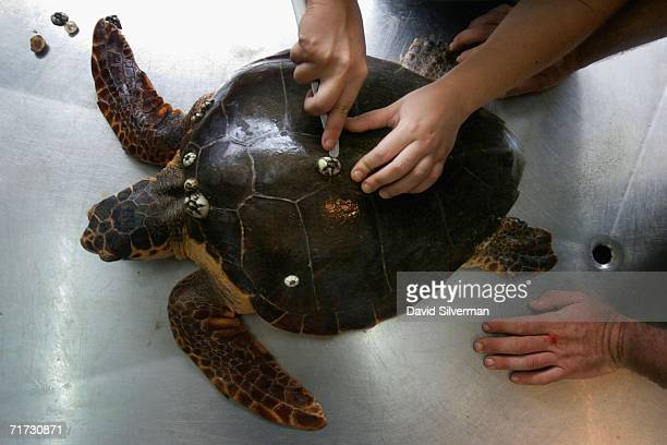 Israeli marine studies volunteer Hadas Yaffe and marine biologist Yaniv Levy remove barnacles from a Loggerhead turtle that was rescued a week...