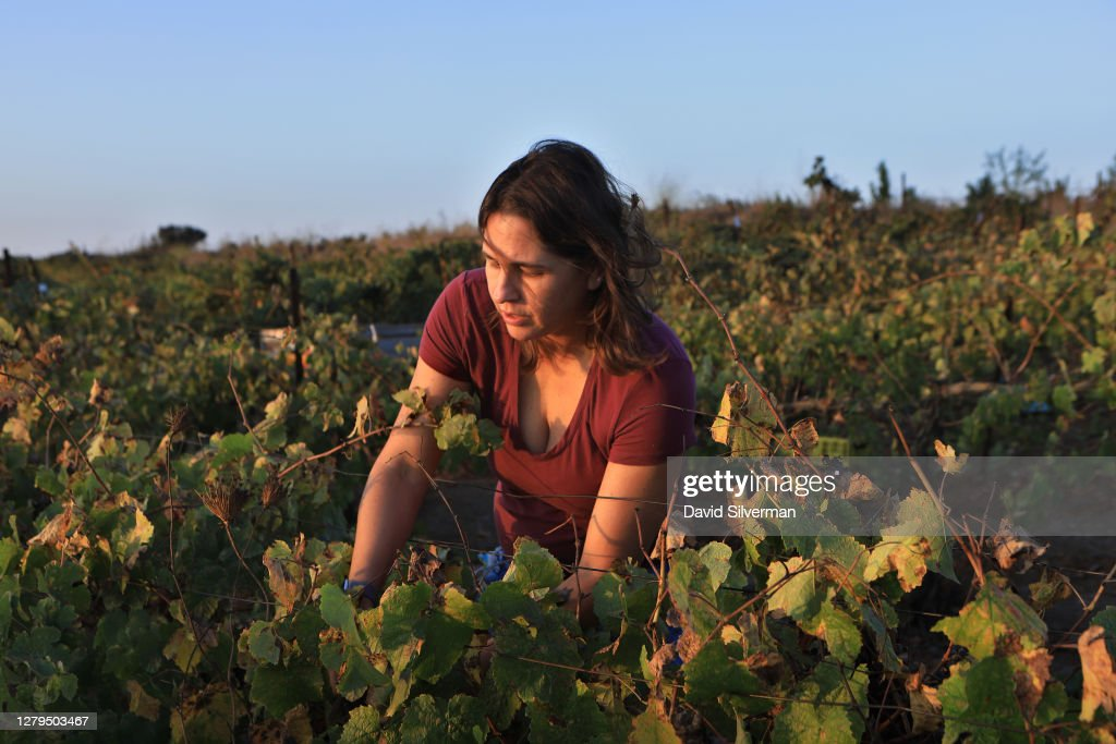 Israeli Wineries Finish Challenging 2020 Harvest Amid Coronavirus Crisis : News Photo