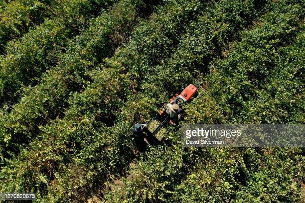Israeli winemaker Ze'ev Dunie collects harvested Chenin Blanc wine grapes for his Seahorse Winery in his organic vineyard on August 28, 2020 in the...