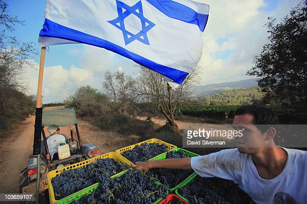 Israeli workers deliver crates of merlot grapes to the winery during the harvest on August 26 2010 in one the vineyards of Kibbutz Tzuba a collective...