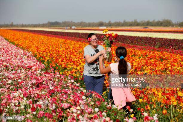 Israelis pick flowers in a field of Ranunculus in the southern Israeli Kibbutz of Nir Yitzhak, located by the Israel-Gaza Strip border, during the...