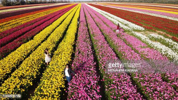 Israelis pick flowers in a field of Ranunculus in the southern Israeli Kibbutz of Nir Yitzhak located by the IsraelGaza Strip border during the...