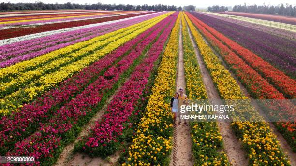 Israelis pose for a picture as they pick flowers in a field of Ranunculus in the southern Israeli Kibbutz of Nir Yitzhak located by the IsraelGaza...